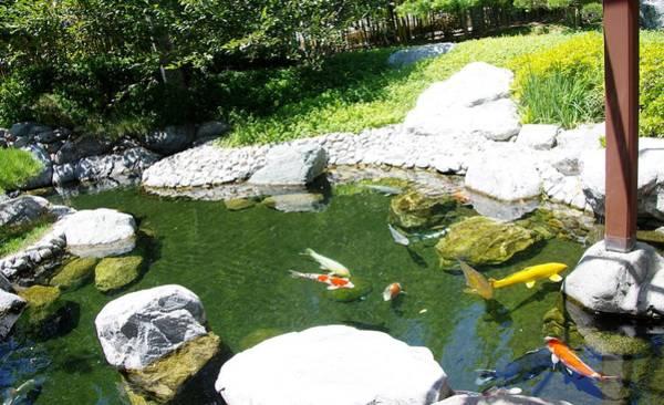 Photograph - Koi Pond 11 Japanese Friendship Garden by Phyllis Spoor