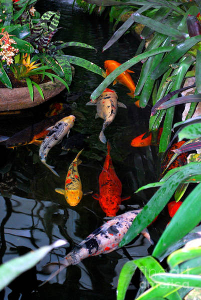 Fish Pond Photograph - Koi Pond by Nancy Mueller