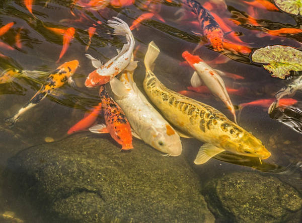 Wall Art - Photograph - Koi Pond by Thomas Young