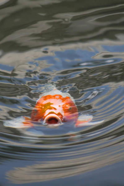 Photograph - Koi Wanting Food by Pamela Walton