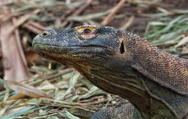Photograph - Komodo Dragon 2 by Stephen Barrie