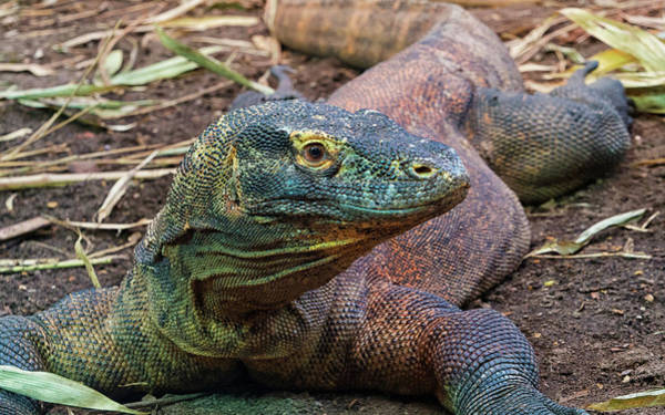 Photograph - Komodo Dragon by Stephen Barrie