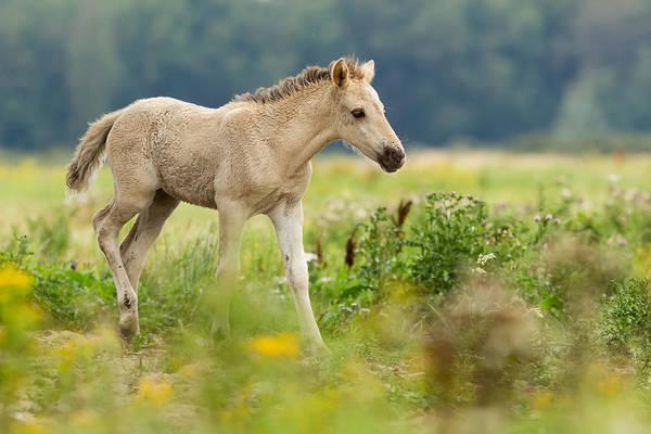 Foal Photograph - Konik Horse Foal Running Through A Grass Field by Roeselien Raimond