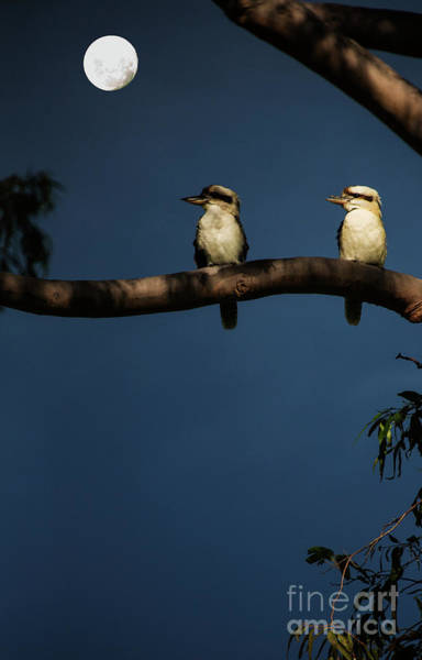 Wall Art - Photograph - Kookaburra Pair In Gum Tree by Sheila Smart Fine Art Photography