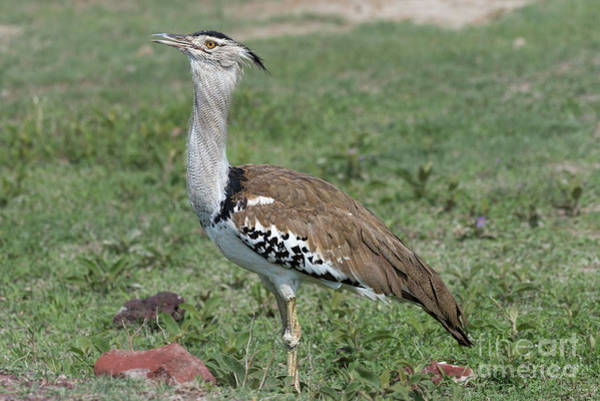 Photograph - Kori Bustard In Ngorongoro Conservation Area by RicardMN Photography