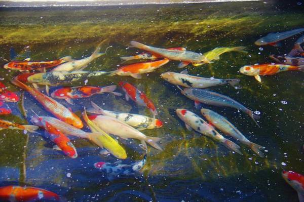 Photograph - Kscd Koi Buying Trip 18 by Phyllis Spoor