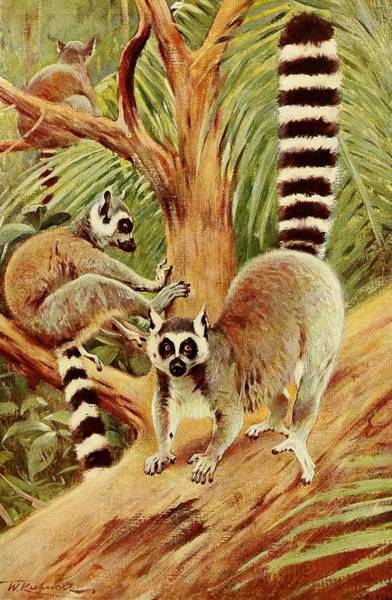 Ring-tailed Lemur Painting - Kuhnert, Friedrich Wilhelm 1865-1926 - Wild Life Of The World 1916 V.3 Ring-tailed Lemur by Wilhelm Friedrich Kuhnert