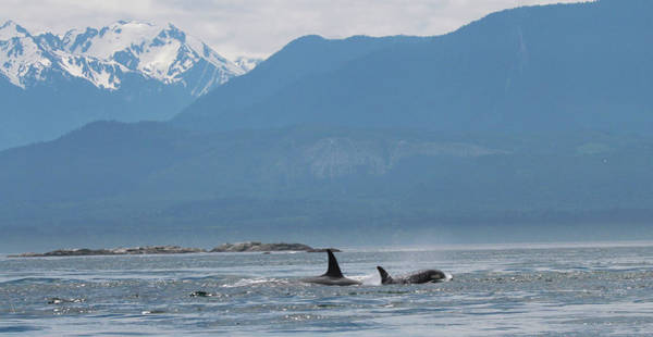 Save The Whales Photograph - L Pod Orca Whales by Dan Sproul