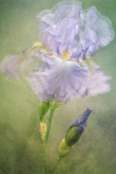 Purple Iris Mixed Media - La Belle by Claudia Moeckel