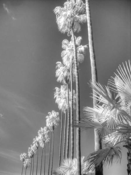 Infrared Radiation Photograph - La Jolla Palm Tree Infrared by Jane Linders