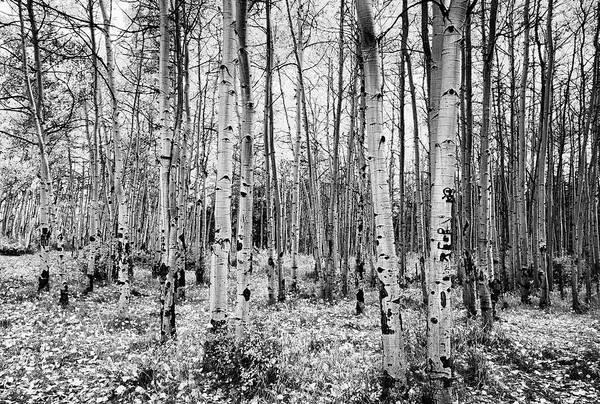 Photograph - La Sal Aspen Black And White by Mark Kiver