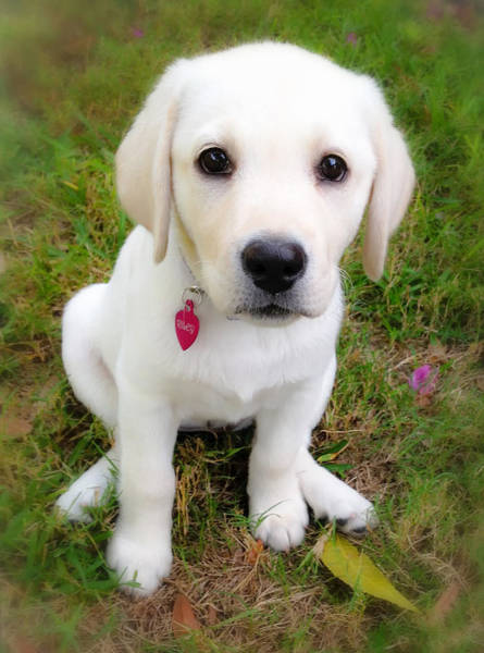 Wall Art - Photograph - Lab Puppy by Stephen Anderson