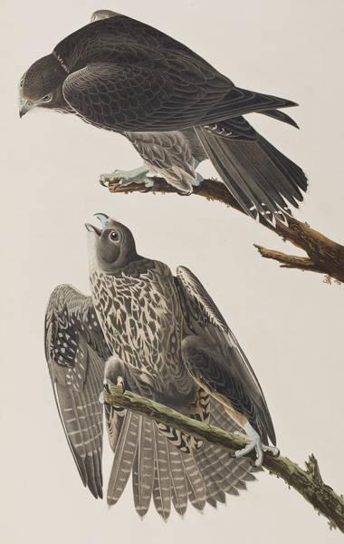 Wall Art - Painting - Labrador Falcon by John James Audubon