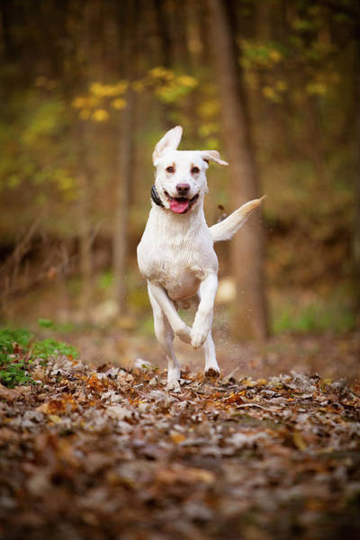 Photograph - Labrador Frolics In Woodlands by Jane Melgaard