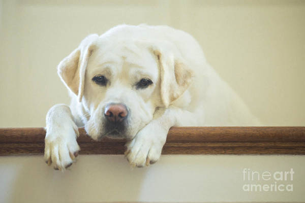 Puppies Photograph - Labrador Retriever On The Stairs by Diane Diederich