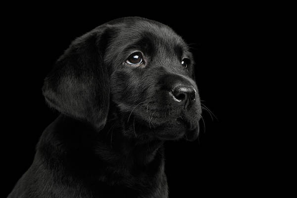 Sweet Puppy Photograph - Labrador Retriever Puppy Isolated On Black Background by Sergey Taran