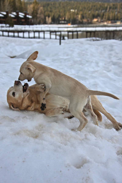 Photograph - Labradors by Steven Lapkin