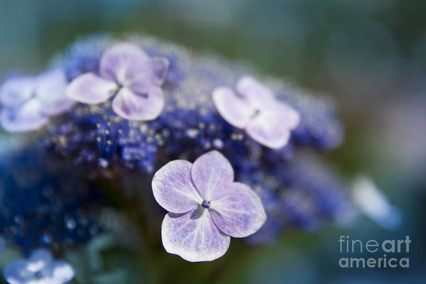 Photograph - Lacecap Hydrangea Macrophylla Serrata by Sharon Mau