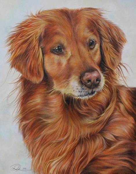 Golden Retriever Drawing - Lacey by Danielle Rosalie Pellicci