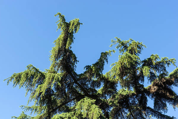 Photograph - Lacy Cypress Branches And A Parrots Nest by Georgia Mizuleva