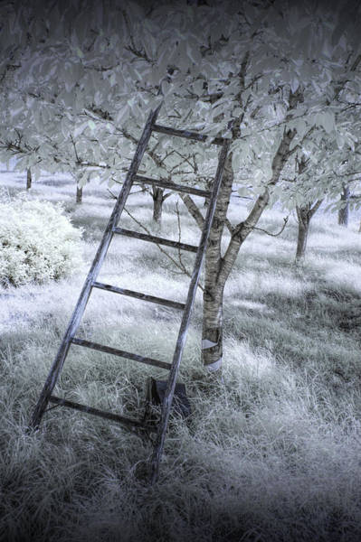 Photograph - Ladder In A Cherry Orchard In Infrared by Randall Nyhof
