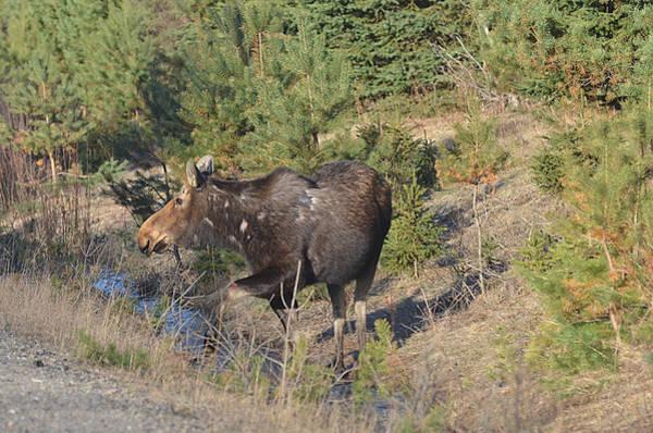 Photograph - Lady Algonquin - Moose by Steve Somerville