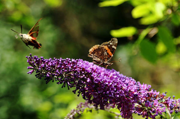 Hemaris Photograph - Lady And The Moth by Debbie Oppermann