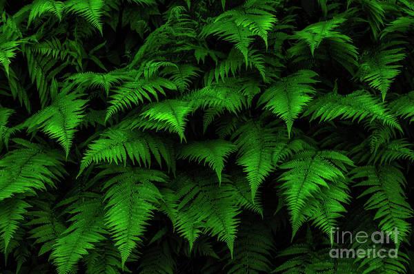 Photograph - Lady Ferns by Thomas R Fletcher