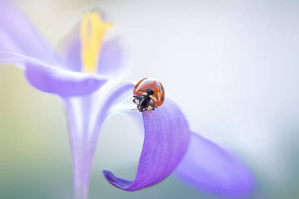 Ladybird Wall Art - Photograph - Lady In Lilac by Jacky Parker