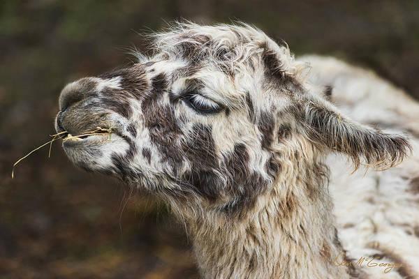Photograph - Lady Llama by Dan McGeorge