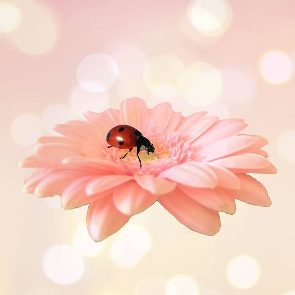 Daisy Photograph - Lady On Pink by Sharon Lisa Clarke
