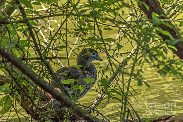 Photograph - Lady Wood Duck II by Kate Brown