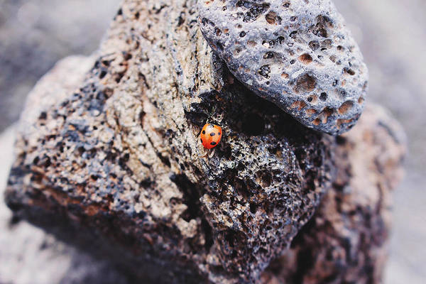Photograph - Ladybird 	 by Martina Uras