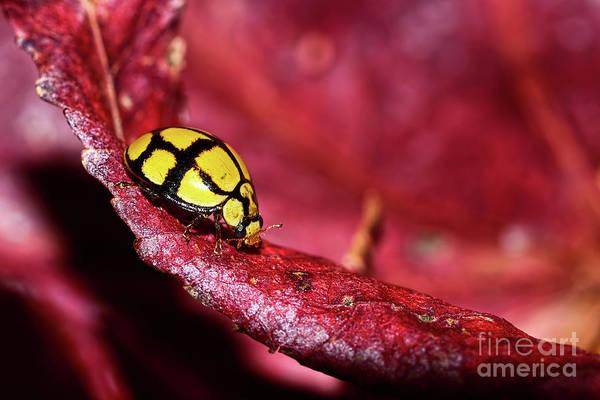 Ladybird Wall Art - Photograph - Ladybird Exploring By Kaye Menner by Kaye Menner
