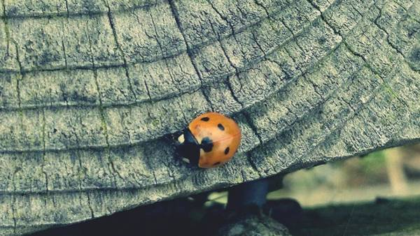 Photograph - Ladybird by Samuel Pye