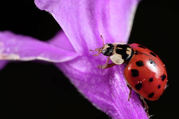 Photograph - Ladybug 1 by Brian Hale