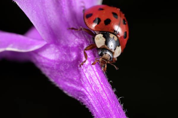 Photograph - Ladybug 2 by Brian Hale