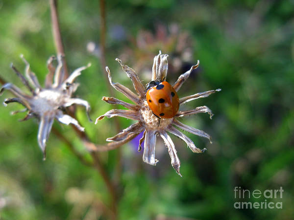 Photograph - Ladybug 5649 by Murielle Sunier
