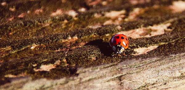 Photograph - Ladybug by Andrea Anderegg