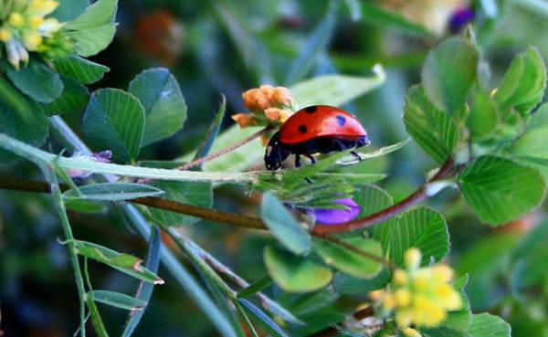 Ladybug Haven Art Print