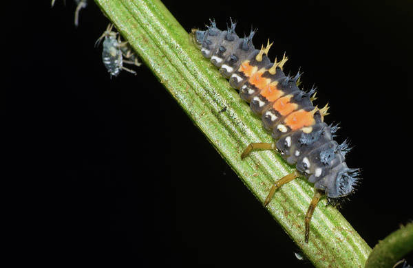 Photograph - Asian Lady Beetle Larvae by Larah McElroy