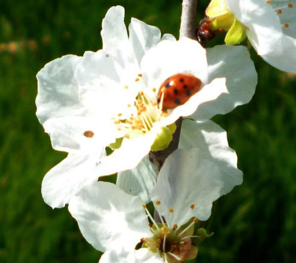 Photograph - Ladybug by Laura Greco