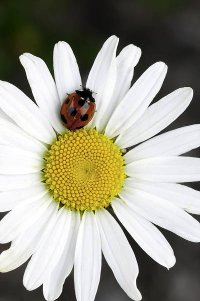 Ladybird Wall Art - Photograph - Ladybug On A Daisy by Andrew Campbell