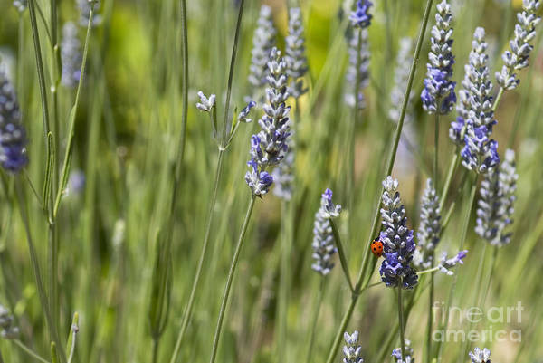 Photograph - Ladybug On Lavender by Cindy Garber Iverson