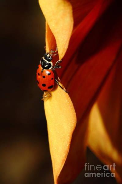 Photograph - Ladybug On Orange Yellow Dahlia . 7d14679 by Wingsdomain Art and Photography