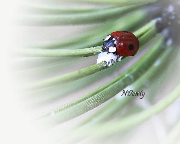 Photograph - Ladybug On Pine by Natalie Dowty