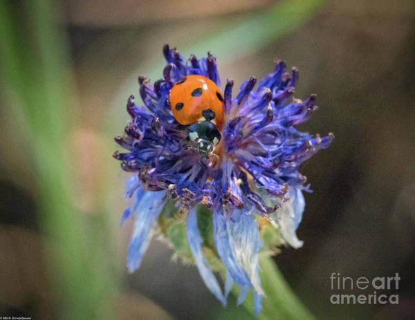Ladybird Wall Art - Photograph - Ladybug On Purple Flower by Mitch Shindelbower