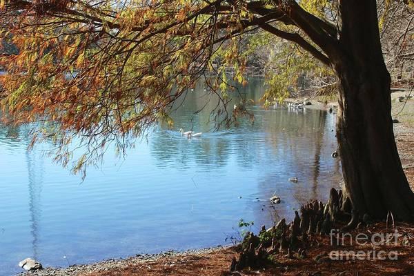 Cypress Knees Photograph - Lake Ella Winter Cypress by Carol Groenen