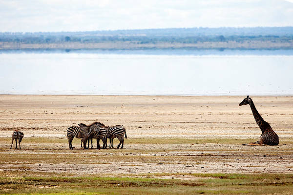Photograph - Lake Manyara Study I by John  Nickerson