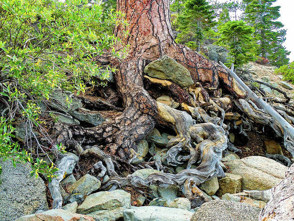 Suggestion Photograph - Lake Tahoe Gnarled  Root Tangle by Norma Brandsberg
